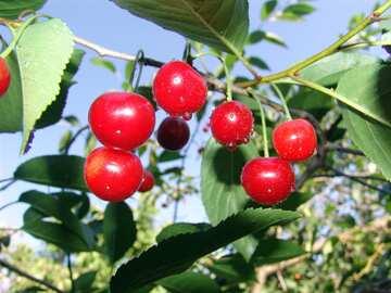 Cherry №2456