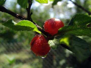 Berries Chinese cherry №2421