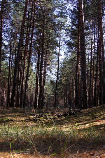 Coniferous Forest №2144