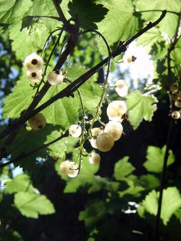 Ribes bianco №2050