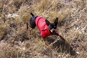 Toy Terrier in red clothes №2164