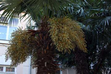 Palmfrucht №2247