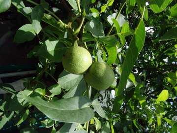 Walnuts on branch №2438