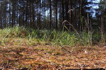 Pine. Grass. Dry needles №2150