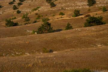 Hills. Dry grass. Pines №2333