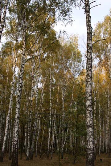 Birches №2158