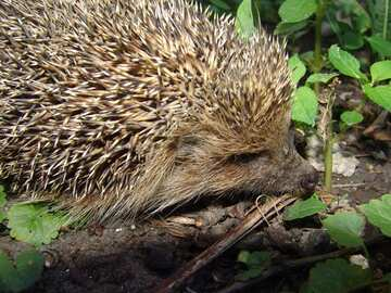 muzzle hedgehog hedgehog  №2476