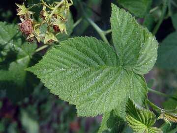Himbeerblätter und grünen Beeren №2430