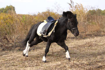 Pony under saddle №2125
