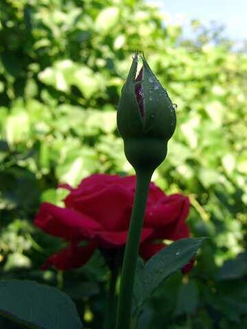 Rosebud in drops of dew №2445
