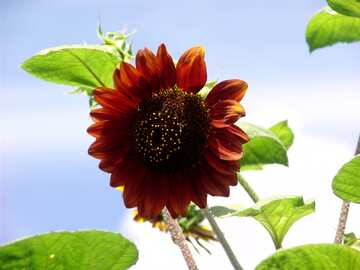 Sunflower decorative red brown  №2493