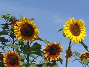 Sunflowers skyline  №2491