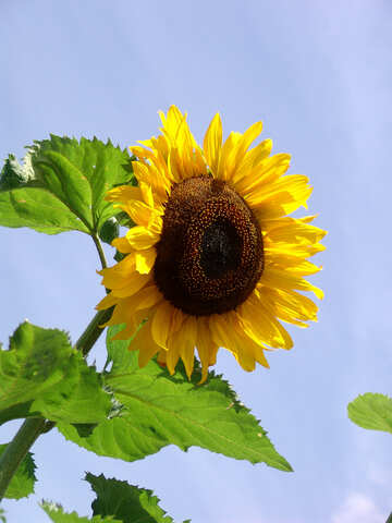 Eine Blume Sonnenblume gegen blauen Himmel №2027