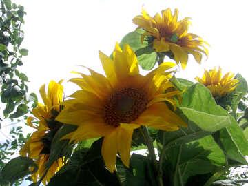 Blumenstrauß aus Sonnenblumen №2026