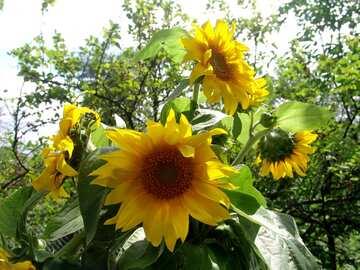 Blumenstrauß aus Sonnenblumen №2486