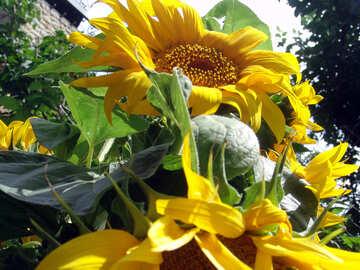 Sonnenblumen №2025