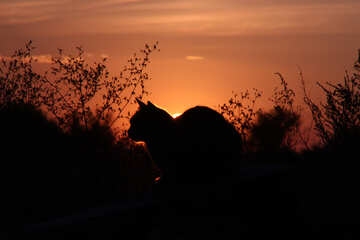 Cat on sunset  №2872