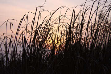 Rushes at sunset  №2711