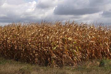 campo di grano di mais campo  №2860