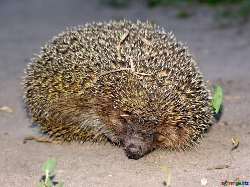 Hedgehog  №2471