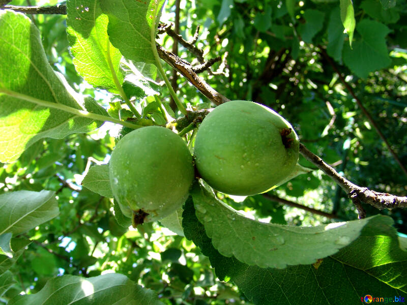 Green apples on branch №2043