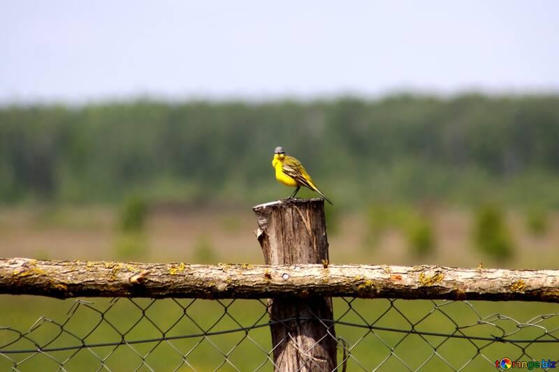 Yellow Bird №2462