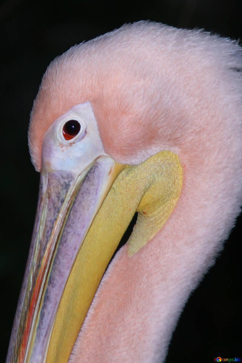 Portrait of pink pelican №2902