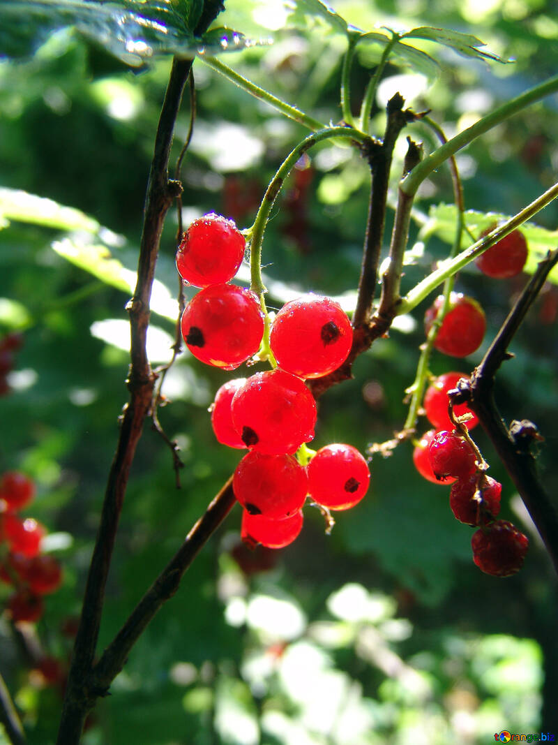 Ribes rosso №2052