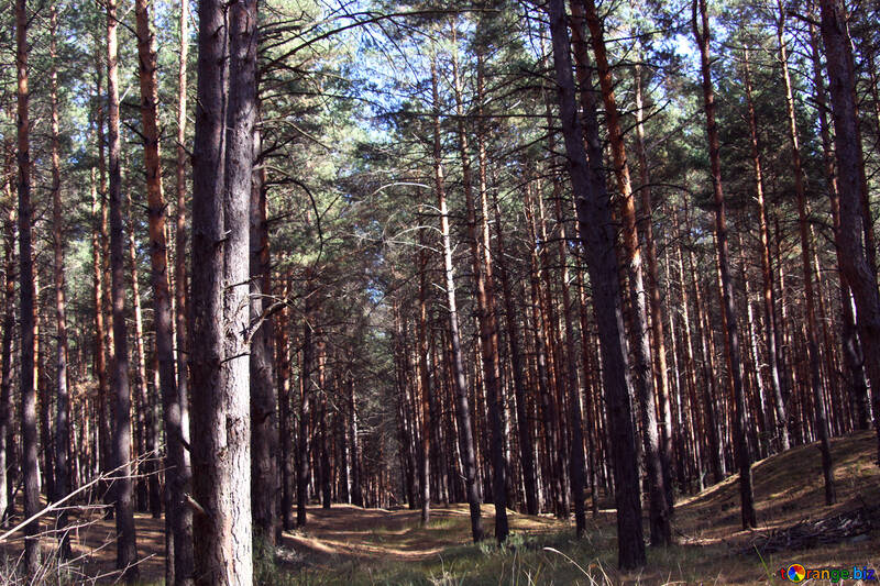 Pines №2145