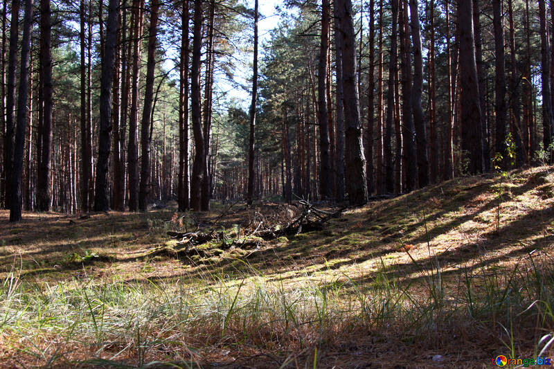 Pine Forest №2142