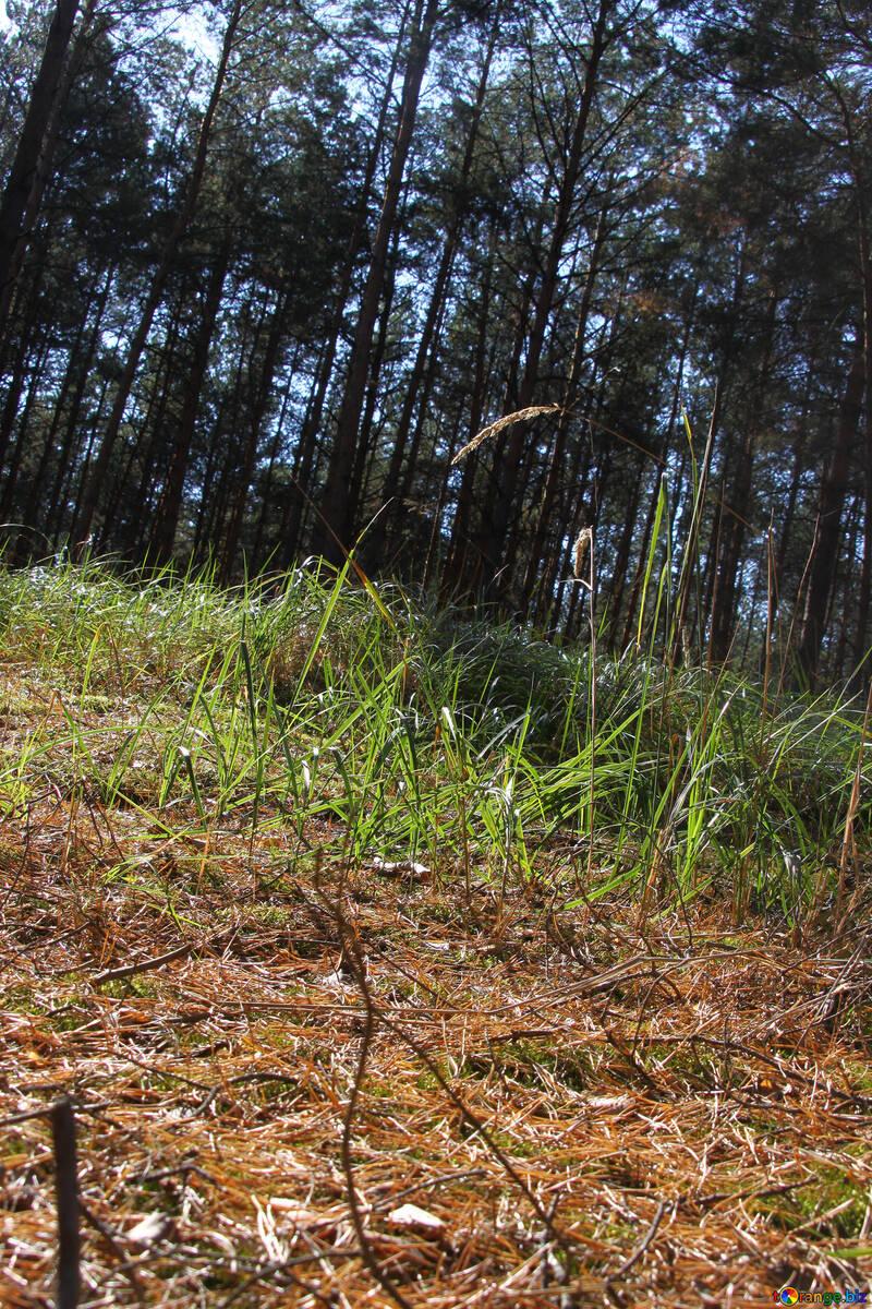 Verde solar claro en pino bosque №2149
