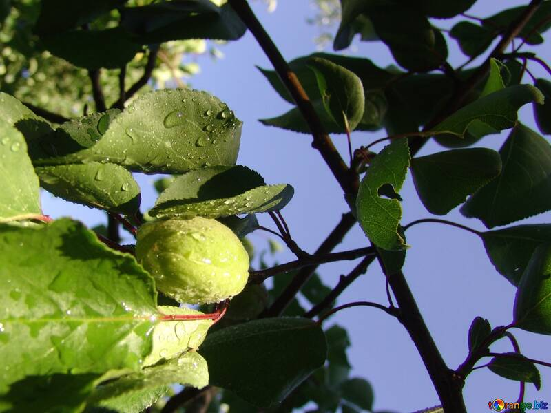 Branch of apricot fruit №2411