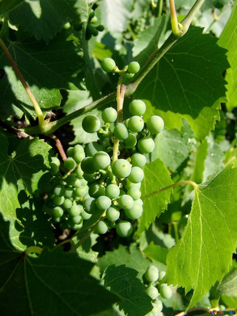 Green Grapes №2455