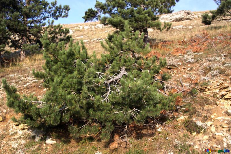Felled pine on hillside №2289