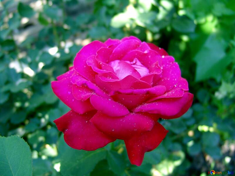 Rose on background of green №2444