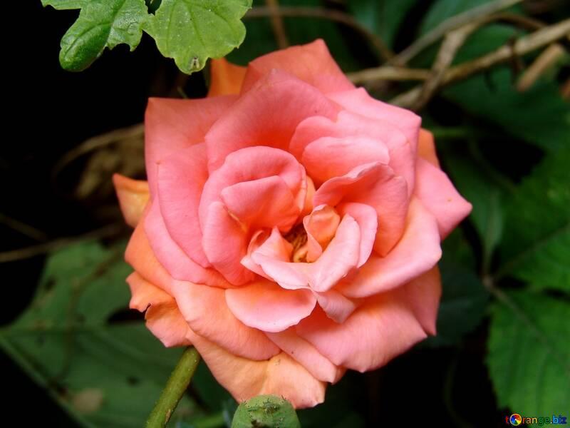 Rose Jardin Rose №2443