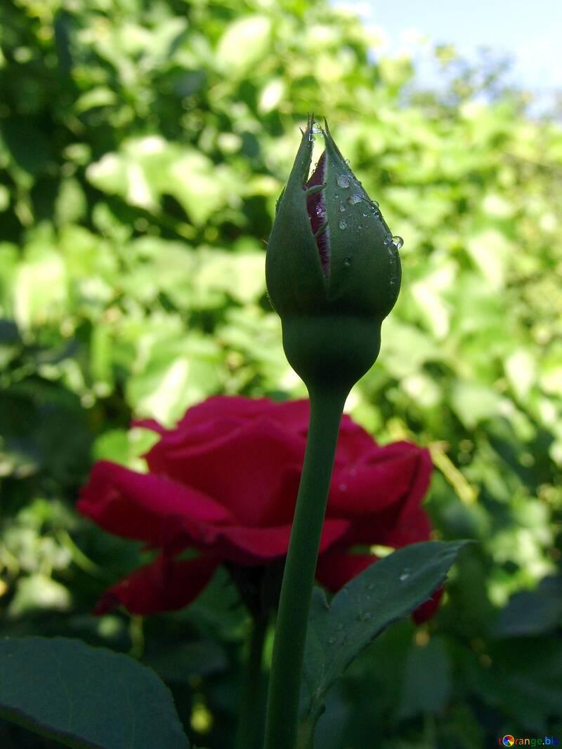 Бутон розы в каплях росы №2445