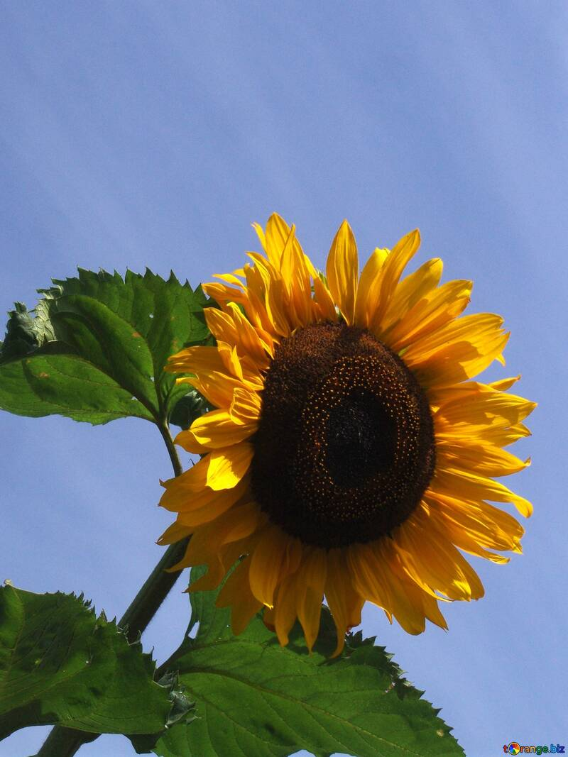 Sunflower  №2492