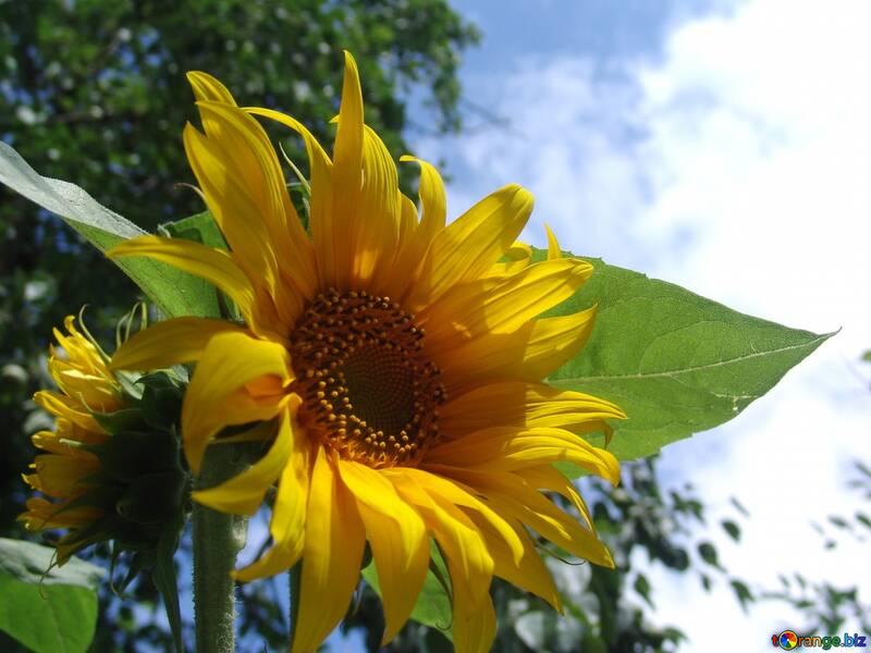 Sunflowers. Bouquet  №2485