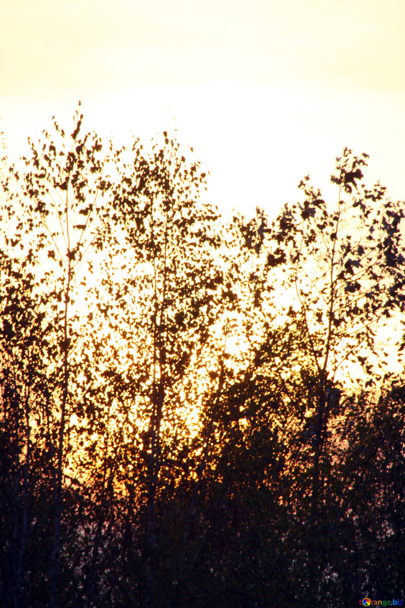 Silhouettes of trees  №2700