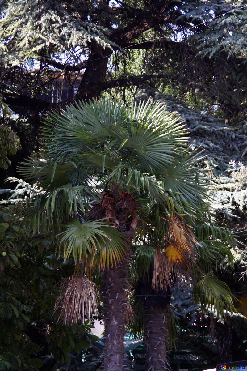 Palm tree №2204