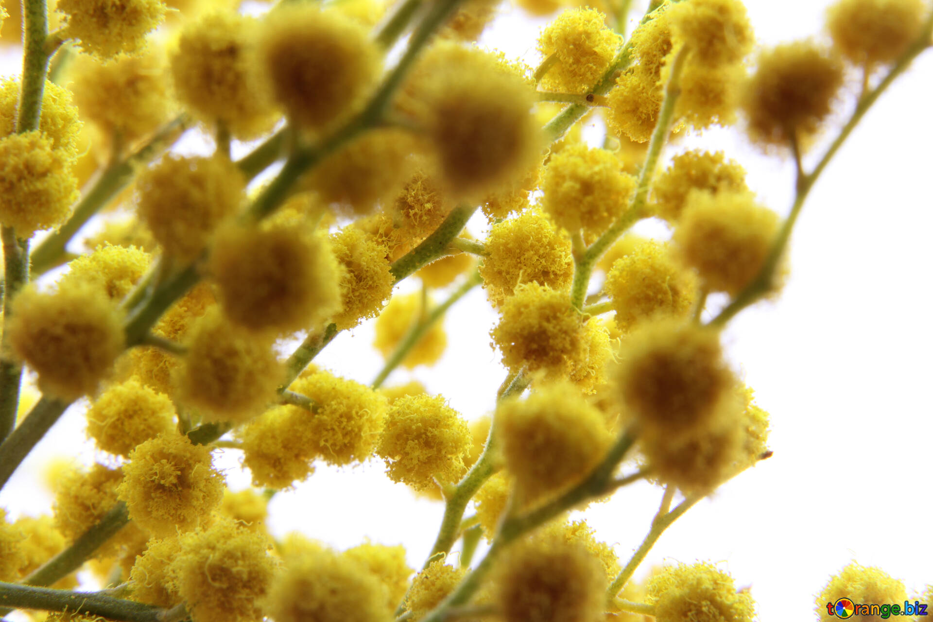 Flowers mimosa yellow flower balls spring 20483 download free image yellow flower balls in hd wallpaper size 1920px mightylinksfo