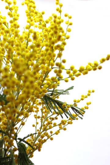 8 Marzo mimosa №20502