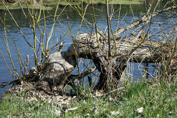 Beaver filled up tree №20397