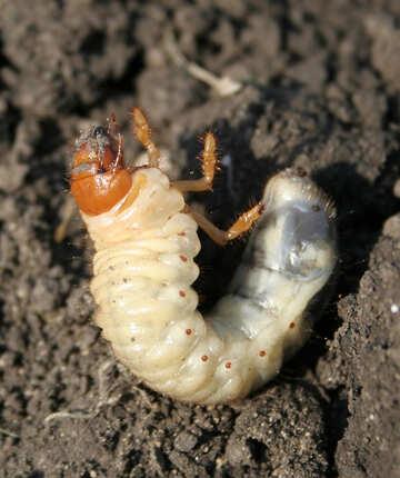 Larva of cockchafer №20461