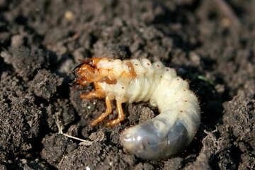 Larva beetle pest №20464