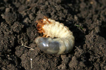 May beetle larva in the ground №20463