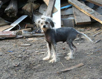 Chinese hairless crested №20548