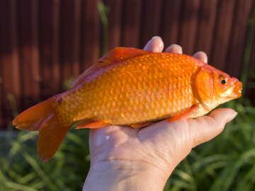 Золотая рыбка №20065