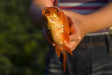 Золотая рыбка №20069